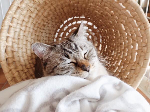 うとうと目を閉じてるムク(シャムトラ猫)。