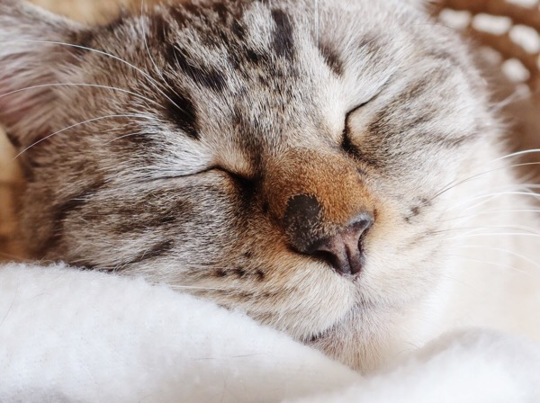 ムク(シャムトラ猫)の顔面アップ。鼻の頭のハゲ部分にうっすら毛が生えている。