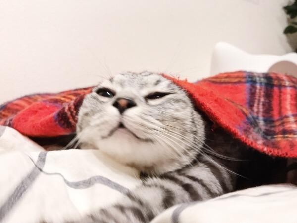 ブランケットからもそもそ出てくるテト(サバトラ猫)。