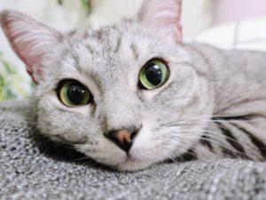 大きな瞳でこっちを見ているテト(サバトラ猫)。