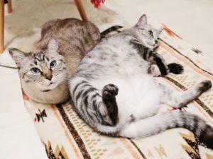 香箱座りをしているムク(シャムトラ猫)と並んでヘソ天で寝転がってるテト(サバトラ猫)。