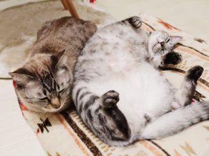 寝返りを打つテト(サバトラ猫)。