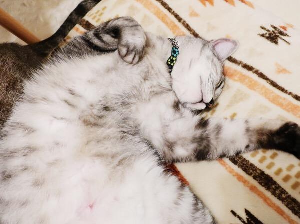 仰向けで寝ているテト(サバトラ猫)の上半身のアップ。