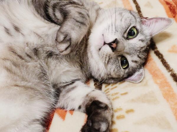 横になったままカメラ目線のテト(サバトラ猫)。