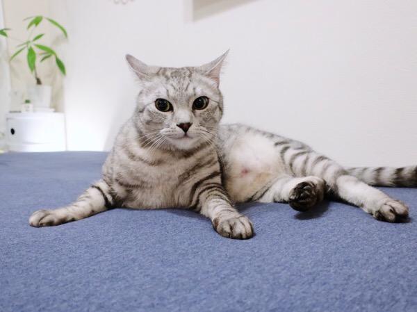 シーツを替えたばかりのベッドの上で寝そべっているテト(サバトラ猫)。