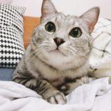 大きな丸い瞳が愛らしいテト(サバトラ猫)。