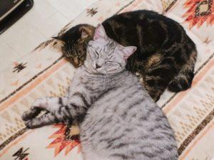 ジーナ(キジトラ猫)を枕にして寝ているテト(サバトラ猫)。