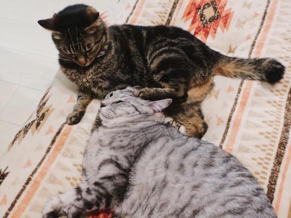 テト(サバトラ猫)の頭に蹴りをいれるジーナ(キジトラ猫)。