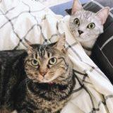 ふとんで寝ているテト(サバトラ猫)とジーナ(キジトラ猫)がこっちを見ている。
