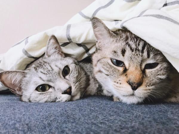 ふとんから顔だけ出しているテト(サバトラ猫)とムク(シャムトラ猫)。