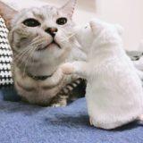 ねずみのぬいぐるみを見つめるテト(サバトラ猫)。