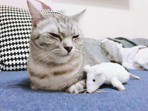 ねずみのぬいぐるみの横で香箱座りしているテト(サバトラ猫)。