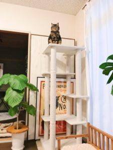 キャットタワーのてっぺんからこちらを見つめているジーナ(キジトラ猫)。