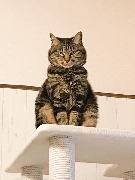 険しい顔をして座っているジーナ(キジトラ猫)。