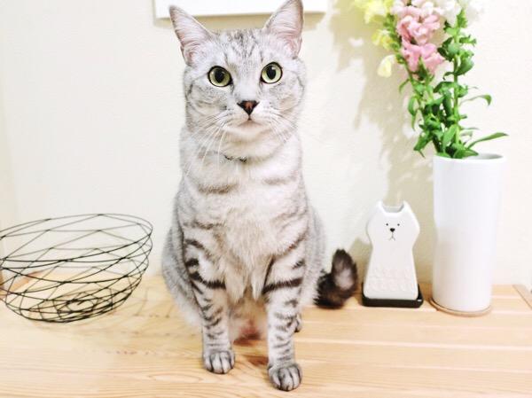 モデル立ちでポーズを決めるテト(サバトラ猫)。