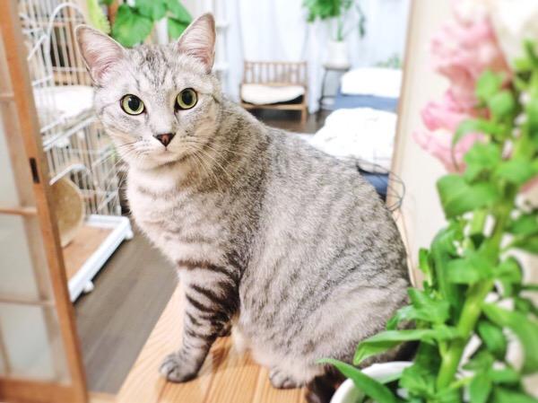 お花を見つめているテト(サバトラ猫)。