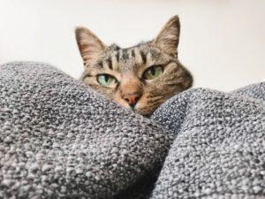 ブランケットの向こう側にいるジーナ(キジトラ猫)。