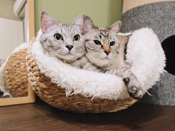 仲良くカゴの中に入っているテト(サバトラ猫)とムク(シャムトラ猫)。