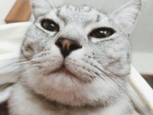 すぐ目の前にあるテト(サバトラ猫)の顔。