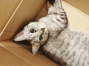 ダンボール箱の中で横たわっているテト(サバトラ猫)。