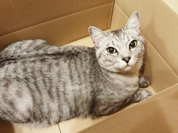ダンボール箱の中で伏せているテト(サバトラ猫)。