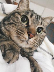 寝ているニンゲンの脇の間にいるジーナ(キジトラ猫)の顔のアップ。