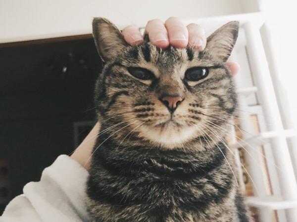 頭を撫でられているジーナ(キジトラ猫)。