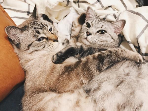 お互いに腕枕をしてあげてるテト(サバトラ猫)とムク(シャムトラ猫)。