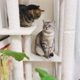 キャットタワーの上にいるテト(サバトラ猫)とジーナ(キジトラ猫)。