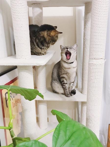 テト(サバトラ猫)の大あくびをじっと見ているジーナ(キジトラ猫)。