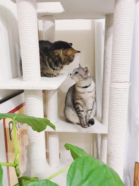 見つめ合う2匹の猫。