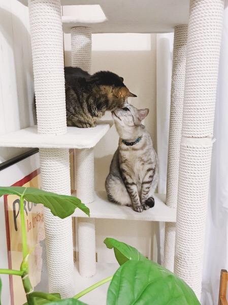 ジーナ(キジトラ猫)にチューするテト(サバトラ猫)。