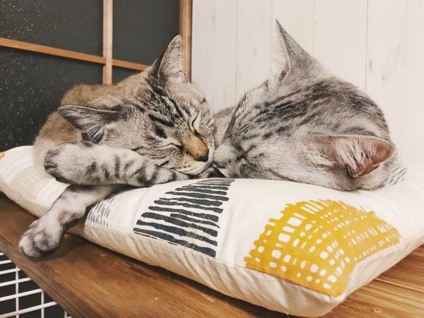 テト(サバトラ猫)に腕枕してもらって寝ているムク(シャムトラ猫)。