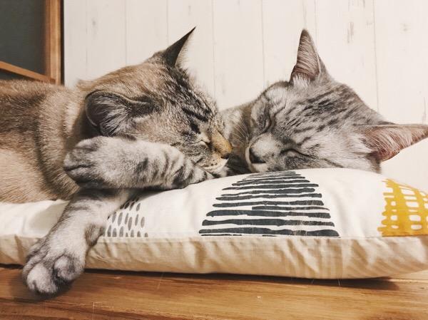 仲良く熟睡している兄弟猫。