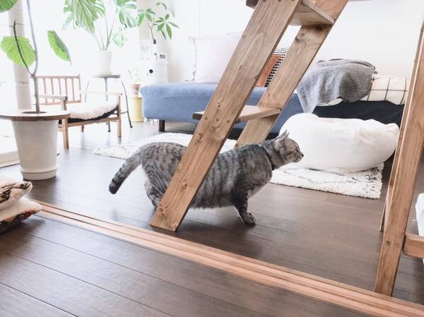 へっぴり腰のテト(サバトラ猫)。