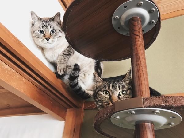 キャットポールの上で縮こまってるムク(シャムトラ猫)とジーナ(キジトラ猫)。