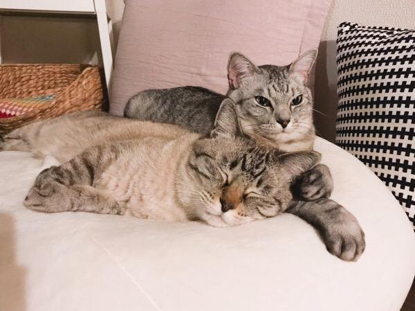 テト(サバトラ猫)に寄りかかってスヤスヤ寝ているムク(シャムトラ猫)。