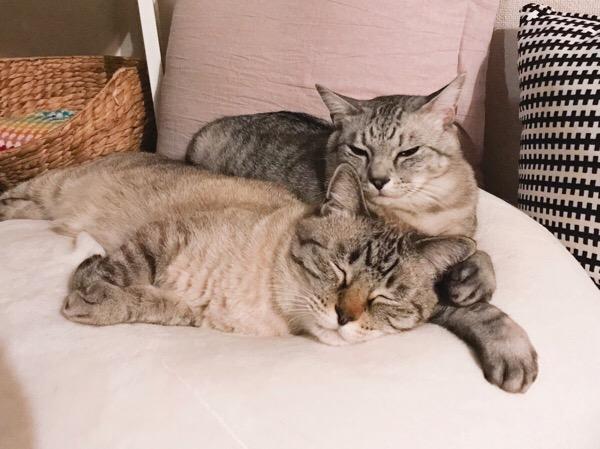 穏やかな顔でムク(シャムトラ猫)に寄り添うテト(サバトラ猫)。
