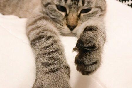 両前足を前に伸ばしているムク(シャムトラ猫)。