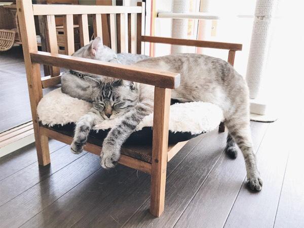 後ろ足がはみ出たまま器用にバランスをとって寝ているムク(シャムトラ猫)。