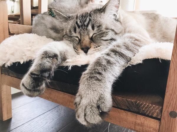 猫ベンチで寝ているムク(シャムトラ猫)。