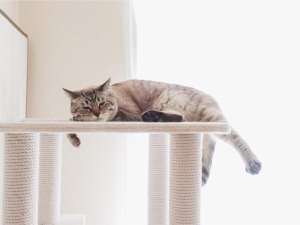 キャットタワーの上でぐて〜っとしてるムク(シャムトラ猫)。