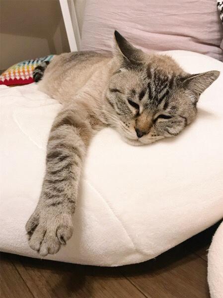 クッションの上で眠そうに横たわっているムク(シャムトラ猫)。