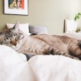 ふとんの上で寝ているムク(シャムトラ猫)。
