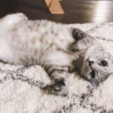 テト(サバトラ猫)がヘソ天で寝っ転がりながらこちらを見ている。