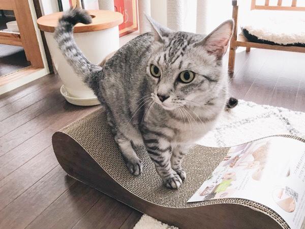 新しい爪とぎに興奮気味のテト(サバトラ猫)。
