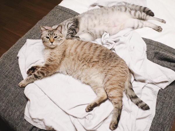 ニンゲンのベッドでのびのび寝ている兄弟猫。