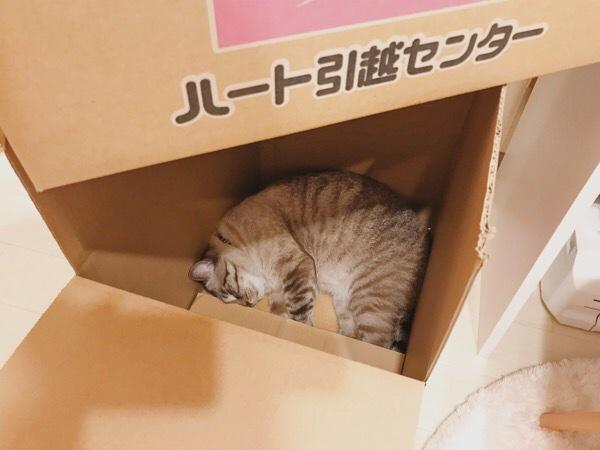 引越し用ダンボールの中で寝ているムク(シャムトラ猫)。