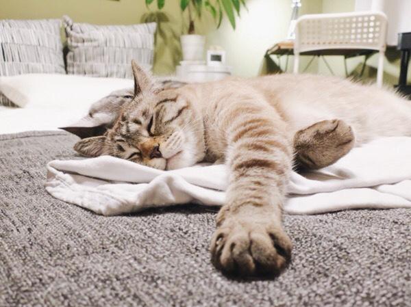 気持ちよさそうに寝ているムク(シャムトラ猫)。