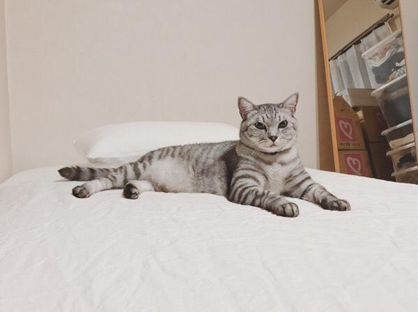 ベッドの上でスフィンクスポーズしてるテト(サバトラ猫)。